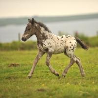 Picture of Appaloosa foal