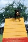 Picture of appenzeller sennenhund (aka appenzell cattle dog), agility