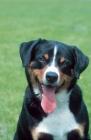 Picture of appenzeller sennenhund portrait