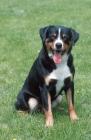 Picture of appenzeller sennenhund sitting down