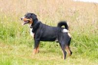 Picture of Appenzeller Sennenhund, swiss farm dog