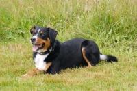 Picture of Appenzeller Sennenhund, Swiss farmdog