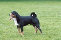 Picture of appenzeller Sennenhund