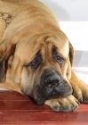 Picture of apricot coloured Mastiff, looking sad