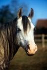 Picture of arab mare, portrait