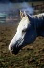 Picture of arab mare portrait