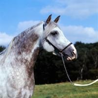 Picture of Arab stallion,  portrait