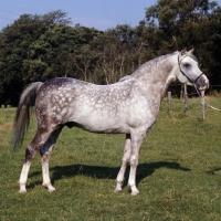 Picture of Arab stallion full body