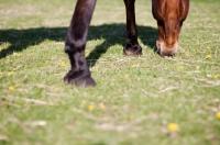 Picture of Arabian grazing