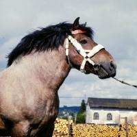 Picture of ardennais stallion, portrait