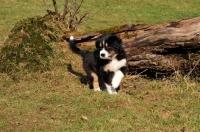 Picture of Aussie puppy exploring garden
