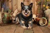 Picture of Australian Cattle Dog in garden