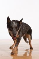 Picture of Australian Cattle Dog walking on wooden floor