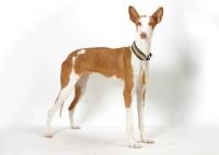 Picture of Australian Champion Chestnut & White Ibizan Hound
