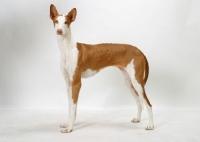 Picture of Australian Champion Chestnut & White Ibizan Hound, standing