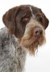Picture of Australian Champion German Wirehair Pointer, portrait