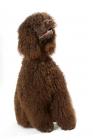 Picture of Australian Champion Irish Water Spaniel