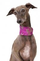 Picture of Australian Champion Italian greyhound