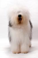 Picture of Australian Champion Old English Sheepdog