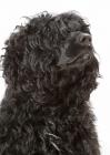 Picture of Australian Champion Portuguese Water Dog, portrait