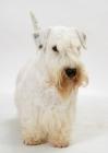 Picture of Australian Champion Sealyham Terrier, looking away