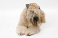 Picture of Australian champion Soft Coated Wheaten Terrier, in studio