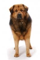 Picture of Australian Champion Tibetan Mastiff standing in studio