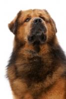 Picture of Australian Champion Tibetan Mastiff in studio