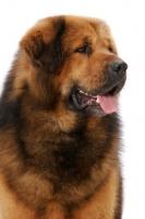Picture of Australian Champion Tibetan Mastiff, looking away