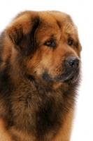 Picture of Australian Champion Tibetan Mastiff portrait