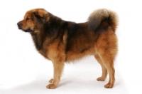 Picture of Australian Champion Tibetan Mastiff, posed