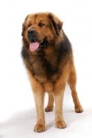 Picture of Australian Champion Tibetan Mastiff