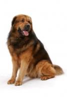 Picture of Australian Champion Tibetan Mastiff, sitting down