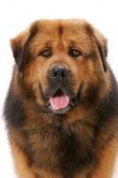 Picture of Australian Champion Tibetan Mastiff, head study, front view