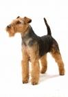 Picture of Australian Champion Welsh Terrier