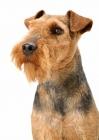 Picture of Australian Champion Welsh Terrier portrait