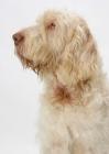 Picture of Australian Champion White & Orange Italian Spinone, profile