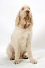 Picture of Australian Champion White & Orange Italian Spinone