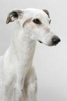 Picture of Australian Grand Champion/ Finnish Champion Greyhound, portrait
