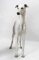Picture of Australian Grand Champion/ Finnish Champion Greyhound