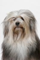 Picture of Australian Grand Champion Lowchen, portrait