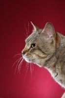 Picture of Australian Mist cat profile