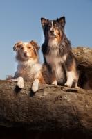 Picture of Australian Shepherd Dog