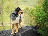 Picture of Australian Shepherd standing on rock
