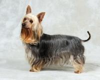 Picture of Australian Silky Terrier in studio