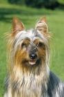 Picture of Australian Silky Terrier portrait