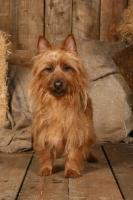 Picture of Australian Terrier in barn