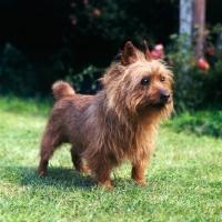 Picture of australian terrier in garden