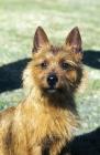 Picture of Australian Terrier portrait