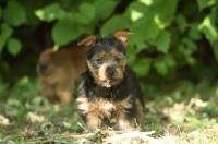 Picture of Australian Terrier puppy near greenery